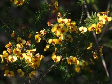 Dilwynia Retortata